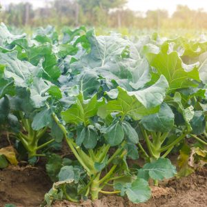 broccoli growing in the field. fresh organic vegetables farming.