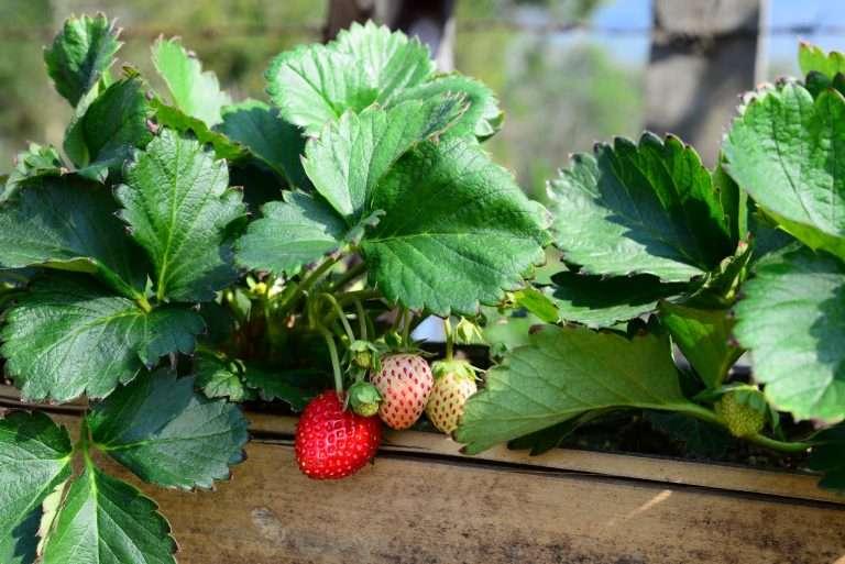 Fresh Sweet Strawberries fruits