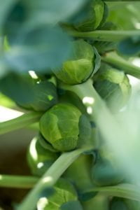 brussels sprouts in a plant at orchard e1567285656891