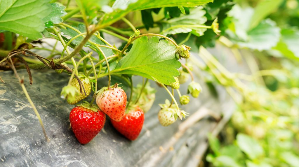 Strawberry plant in an orchard.