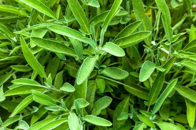 sage plants e1567360147695