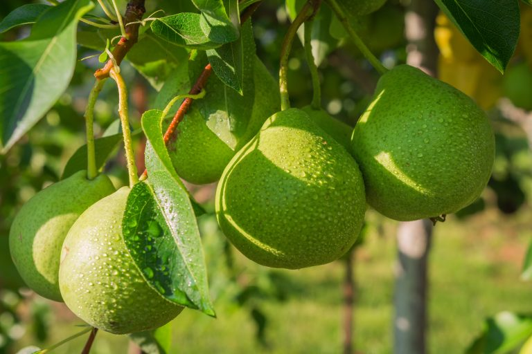 pears hanging from a tree e1567359341858