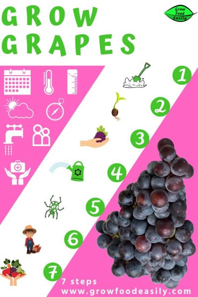 7 steps to grow grapes