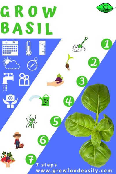 7 steps to growing basil