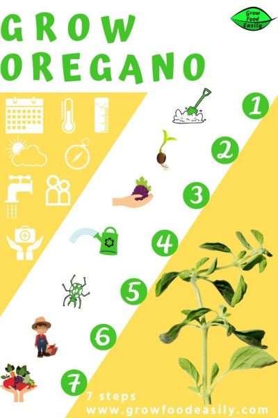 7 steps to growing oregano