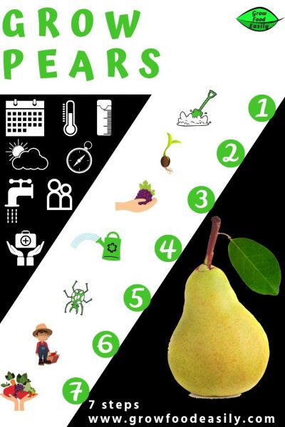 7 steps to growing pear trees e1567359371818