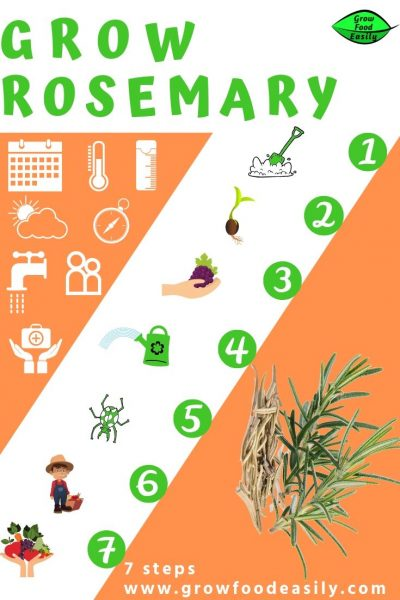 7 steps to growing rosemary e1567360678296