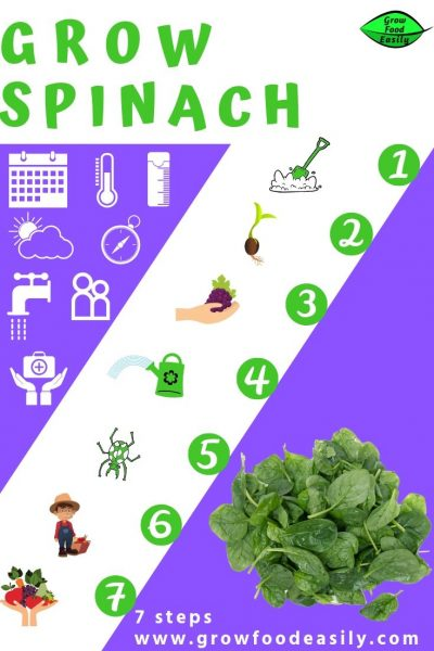 7 steps to growing spinach e1567365605223
