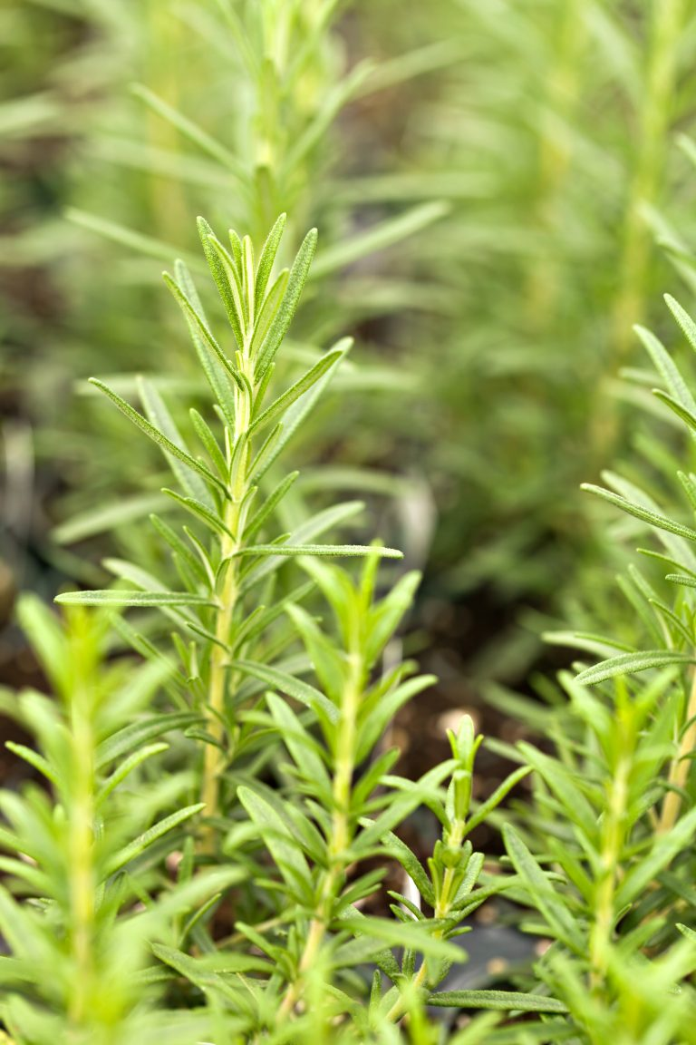 organic rosemary plants e1567360647404