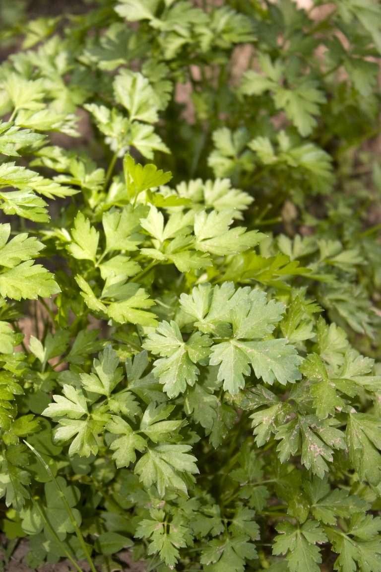 fresh parsley e1567360176538