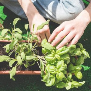 Basil planting in containers