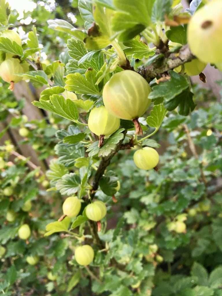 ripe gooseberry e1567365304345