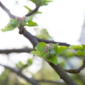blossoming pear tree e1567359243981