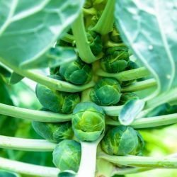 brussels sprouts on plant e1567285692871