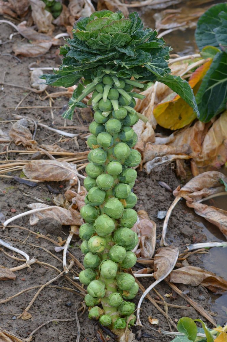 brussels sprouts plant 277190 1280 e1567285553158