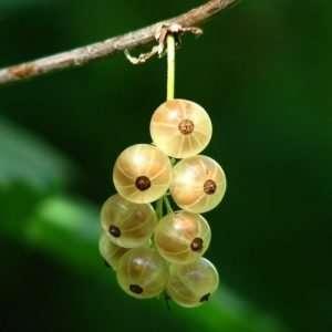 bunch of gooseberries