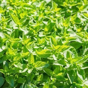 bunches of oregano plants e1567359931617