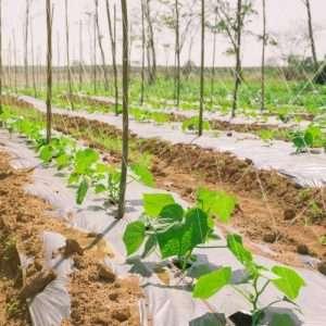 cantaloupe melon plant e1567365049705
