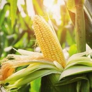 Closeup corn on stalk in field