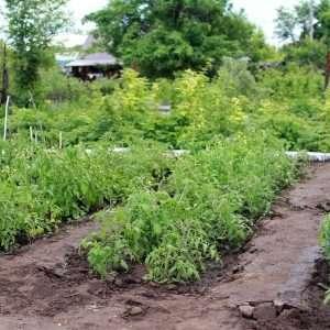 growing potato plants e1567366007700