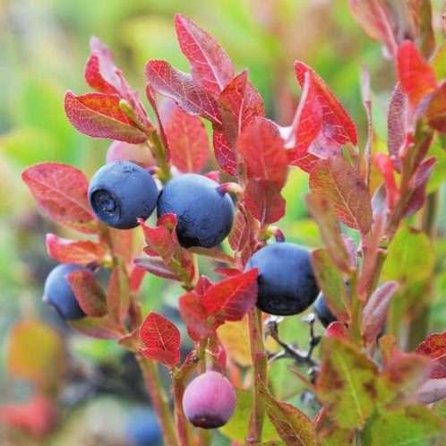 freshesh blueberries