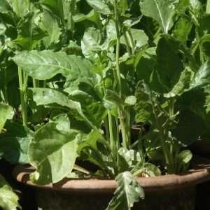 fresh green spinach e1567365664232