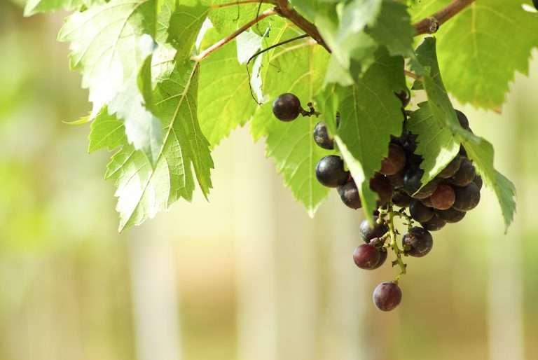 grape in garden