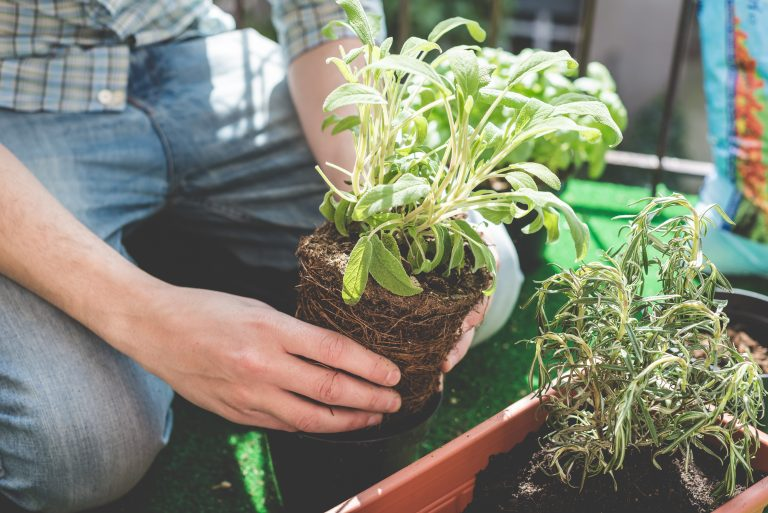 Potting a basil plant