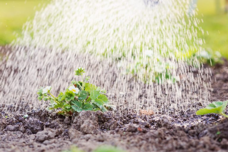 Watering strawberry seedling planted