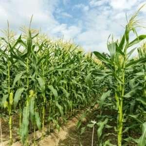 green corn field in rows