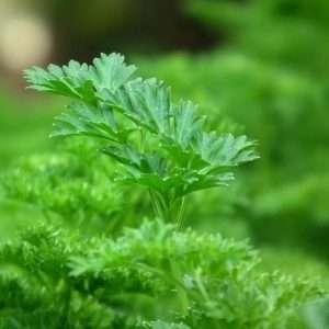 green parsley leaf e1567360204237