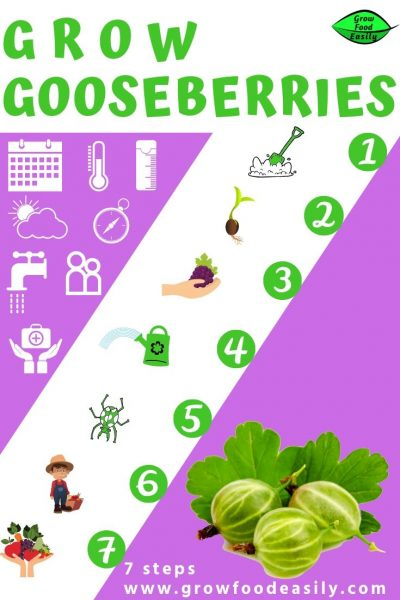 growing gooseberries guide e1567365181367