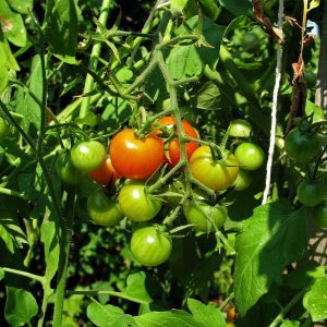 growing healthy tomatoes e1567365981786