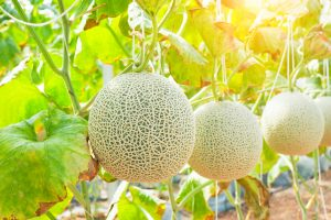 growing melons e1567365028538