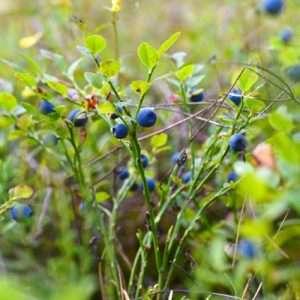 Grown blueberry bush
