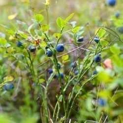 grown blueberry bush e1567365564148