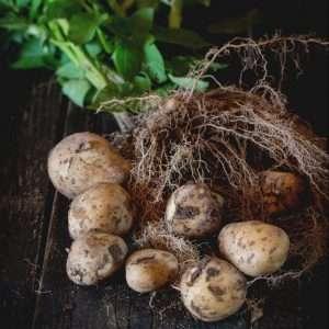 grown potatoes e1567366052299