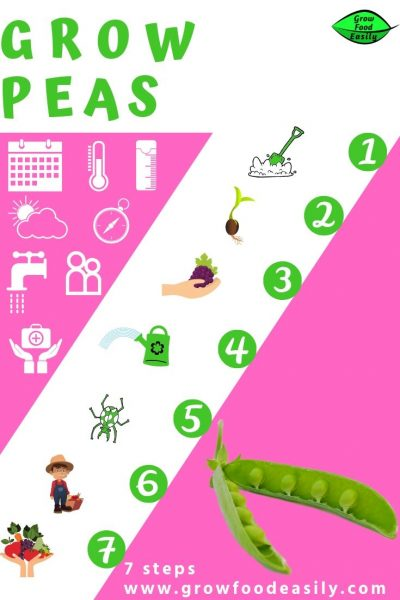 how to grow peas e1567358675705