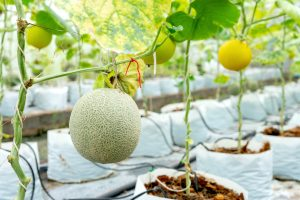 melon farm greenhouse e1567365073929