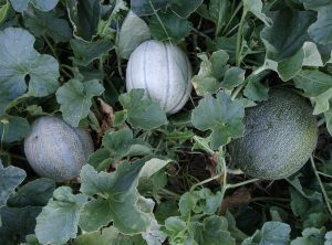 Melons in a bush