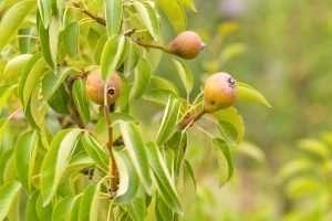 young pear tree e1567359201302