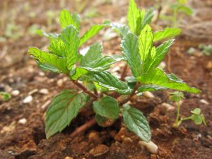 mint planted in the ground e1567361024407