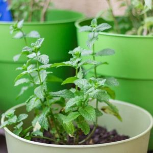 Mint in a pot