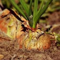 onion plant e1567365707859
