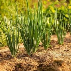onion row growth e1567365770917