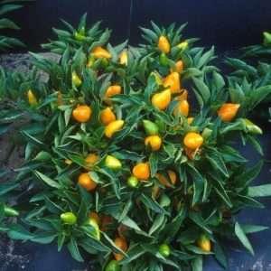 orange bell peppers e1567358602631