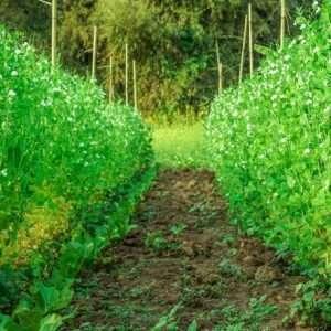 peas flower and peas plants e1567358825954