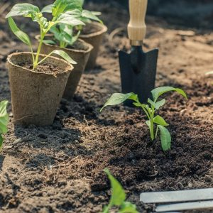 Pepper planting in ground