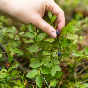 picking blueberries e1567365585207