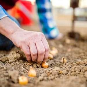 planting onions e1567365746806